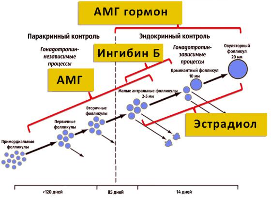 амг гормон - схема